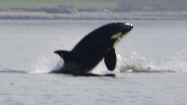 Orcas in the Clyde